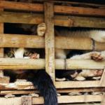 Мурлыкающий «деликатес»: в ресторанах Вьетнама все еще подают кошачье мясо